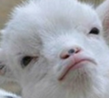 Lynn goat avatar