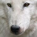 ArcWolf avatar