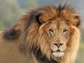Roaring lions avatar