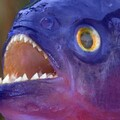 Blue Piranha avatar