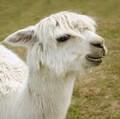 alpacas avatar
