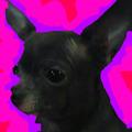 Stella_Chihuahua avatar