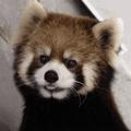 Golden_Red_Panda avatar