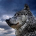 IceWolf_1003 avatar