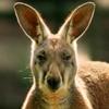 uprightkangaroo avatar