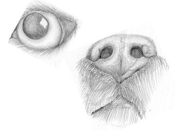 Dog Eye and Snout Study Sketch Minecraft Blog