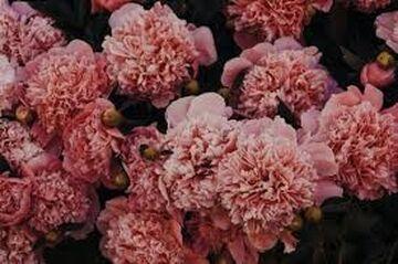 - _ -  carnation - acrostic love poem  - _ - Minecraft Blog
