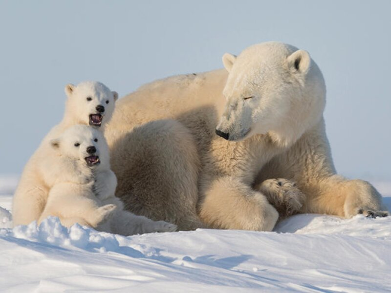 Real Life Polar Bear - You can see their fur is not pure white, like the snow around them