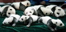 Save The Pandas From Extinction Minecraft Blog