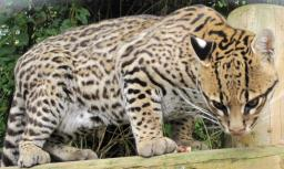 Why Ocelots run away [Ocelot's point of veiw] Minecraft Blog