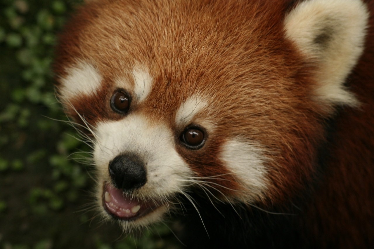 Red Panda Minecraft Skin Xbox Face Wiring Diagrams