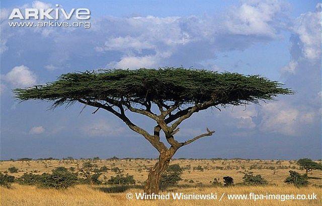 Umbrella Thorn Tree Minecraft Project
