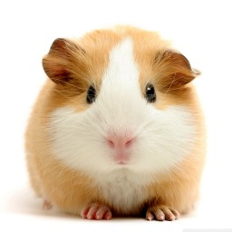 How To - Guinea Pig Responsibility - First Blog