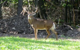 Animal Blog #5 Whitetail deer Minecraft Blog