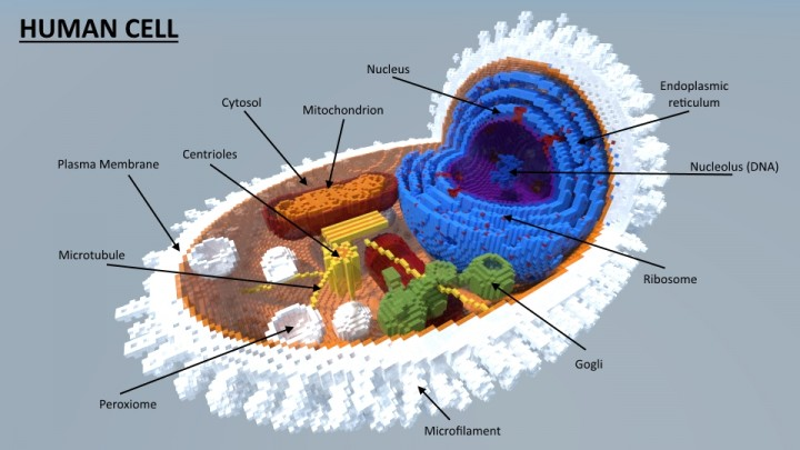 how to make a human cell model