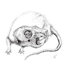 Mouse skull anatomy