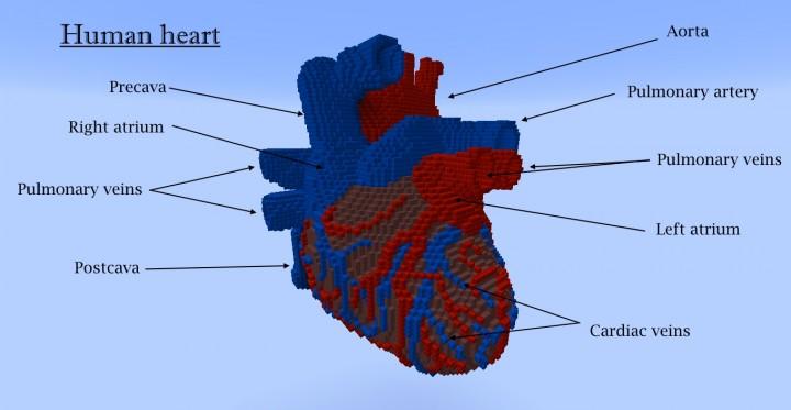 3d Human heart Minecraft Project