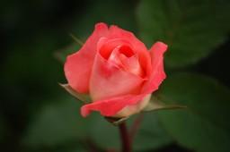 Haiku Poem :: Scorpio The Rose (Popreel)