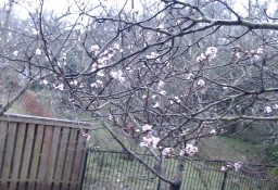 The Peach Trees are Blooming! Minecraft Blog