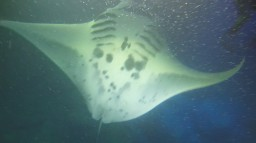 Hawaii Honeymoon - Snorkeling with Manta Rays and Tropical Fish Minecraft Blog
